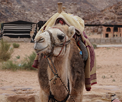 A camel with a saddle and decorative blanket on its back looks away from the camera while standing in the desert.